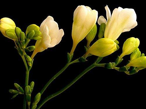 graines de freesia pot semences freesia fleur variété de semences complète -50 pièces / sac