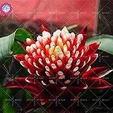 11.11 Grande promozione! 50 pc / lotto rara colorata Torcia semi di fiori guzmania Poker-pianta bonsai Garden & Home Kniphofia impianto 1