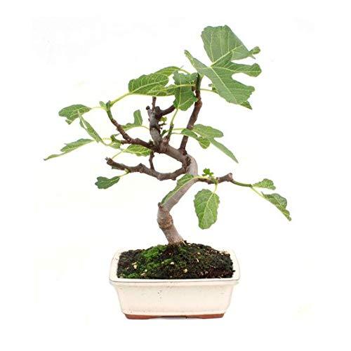 Bonsái Ficus Carica de 7 Años Bonsái Higuera de 7 Años Planta Natural del Mediterráneo