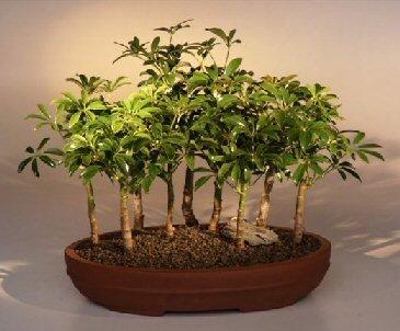 Hawaiian Umbrella Bonsai Tree - 9 Tree Forest Group (arboricola schefflera)