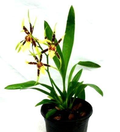 1 blühfähige Orchidee der Sorte: Brassia Tosca, 13cm Topf