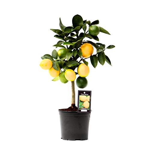 Lemon Tree Indoor Plant | housep...