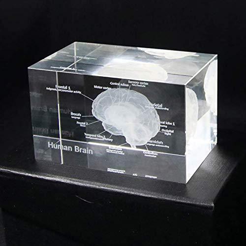 Menschliches Gehirn Anatomie-Modell, 3D-Glas-Modell-Papiergewehr-Cube Science-Geschenk medizinischer Andenken mit leichter Basis