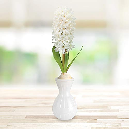 Carnegie Hyacinth Flower Forcing Kit | Grow Your Own Indoor Flowers