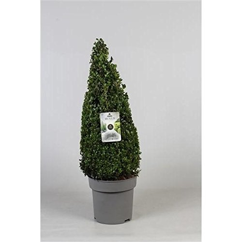 Blumen Senf 1 Stück Buchsbaum Pyramide - Kegel 80 cm Buxus sempervirens