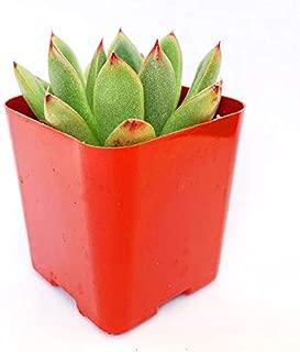Echeveria Agavoides Christmas Echeveria Christmas Eve Red Tips Succulent Echeveria Rosettes Hybrid Echeveria Red Christmas Succulent - 4'' Clay Pot