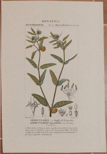 opercularia a foglie di ligustro opercularia ligustrifolia