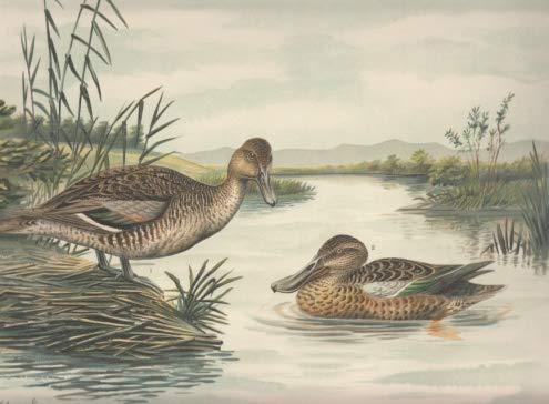 Spitz-Ente. Dafila acuta (L.)., Männchen im Sommerkleide. Löffel-Ente. Spatula clypeata (L.)., Männchen im Sommerkleide. Chromolithographie.