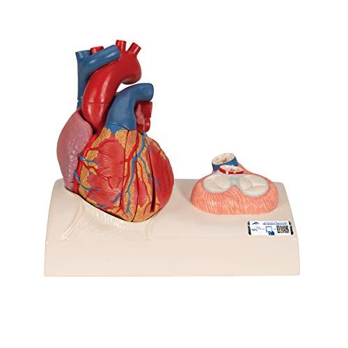 3B Scientific Menschliche Anatomie - Herzmodell in Lebensgröße mit magnetischen Verbindungen, 5-teilig + kostenloser Anatomiesoftware - 3B Smart Anatomy