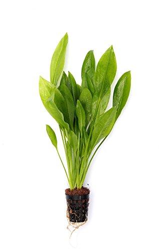 Dekoimtrend Echinodorus grisebachii Bleher Grosse Amazonas - Schwertpflanze Wasserpflanze Aquarium Aquariumpflanze