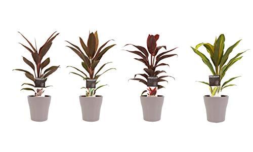 Zimmerpflanzen von Botanicly – 4 × Keulenlilie in taupe-farbenem Übertopf als Set – Höhe: 40 cm – Cordyline Fruticosa Kiwi, Cordyline Fruticosa Mambo, Cordyline Fruticosa Tango, Cordyline Fruticosa Ru