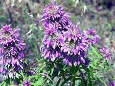 Fash Lady beebalm, LEMON BEE BALM FLOWER, 1105 graines! GroCo