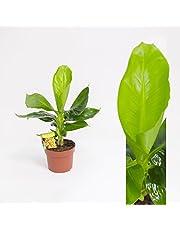 Musa Tropicana Bananera Platanera Planta de Interior
