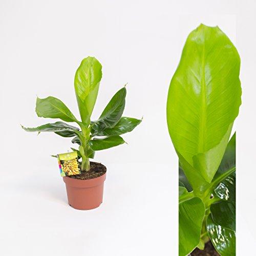 Inter Flower -Musa Tropicana(Musa acuminata), Bananenpflanze, Zimmerpflanze,35-45cm+/-