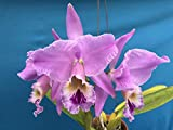 "FARMERLY Cattleya labiata 'Tipo' Art Orchid Cool Big Duftstoffe 3.5"" NBS by -"