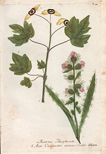a. Acarna Theophrasti. b. Acer Campestre...