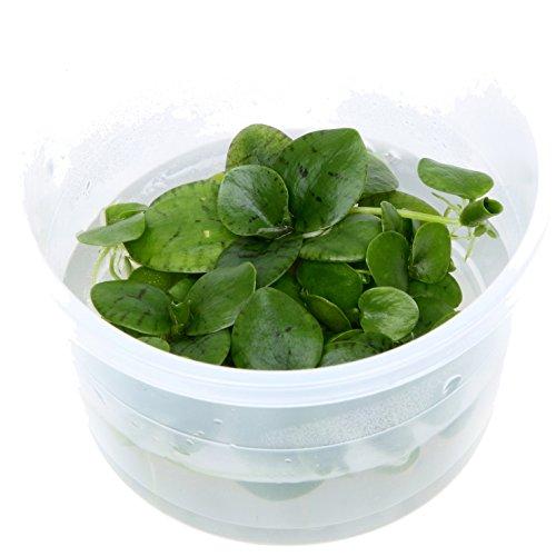Tropica 1-2-Grow! Limnobium laevigatum 1 Stück