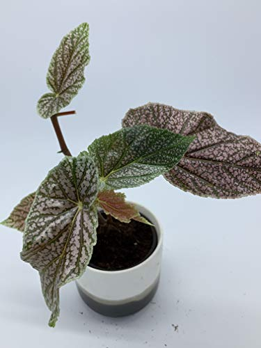 Flowering Plant - Live - 'Benigo Pink' Angel Wing Begonia Starter Plant!. e18
