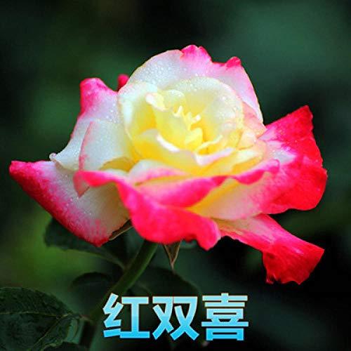 Aerlan Plantes de Jardin Décoration,semences vivaces,Fleur Rose, Fleur Rose, Rose Rose Fleurs en pot-100 Capsules_T
