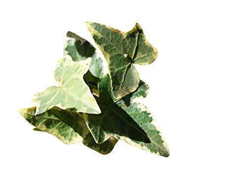 Echtes Efeu 20 Samen -Hedera helix- ''Kletterpflanze/Winterhart''