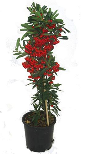 Pyracantha 'Red-Star' Feuerdorn rot immergrüner winterharter Strauch