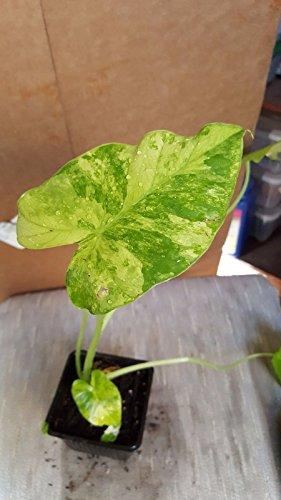 "Generic Alocasia odora 'Variegata' - 1 Starter Pflanzen - 3"" Tall - Schiff in ONE 3"" Pot"