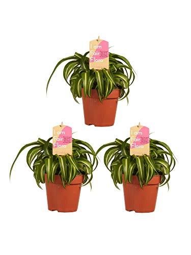 Chlorophyton chevelu | 3 plantes | plante d'intérieur| hauteur 20 cm | Pot 12 cm | Entretien facile