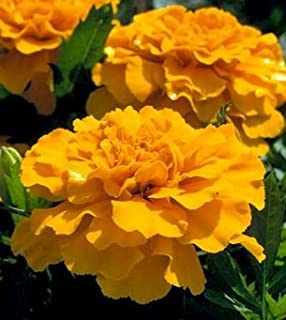 Heirloom 400 Seeds Tagetes Mexican Marigold Aztec Gold Yellow Flower Bulk Fresh Seeds B5133