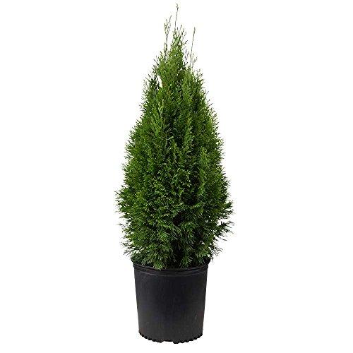 2.5 Quart - Emerald Green Arborvitae