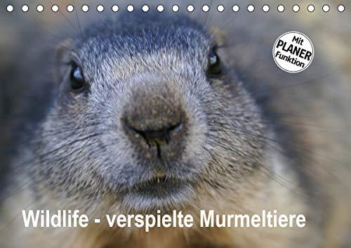 Wildlife - Verspielte Murmeltiere (Tischkalender 2021 DIN A5 quer)