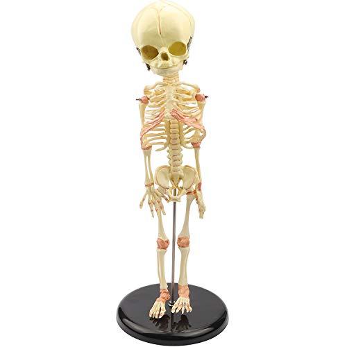 Human Skeleton Model Miniature Baby Skeleton Model for Display Study Teaching Anatomical Model and Gift for Halloween