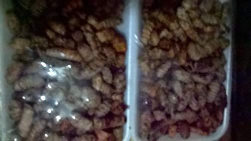 Bio-Saatgut Nicht nur Pflanzen: Kurkuma Seed/Rhizome (Kaufen Sie EIN Fach EIN Fach für eine Gute Maßnahme erhalten) mit der Faehre