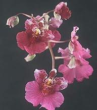 "1 Wonderful Seedling Live Plant Tolumnia Jairak Rainbow `Flyer` 1.5"" Pot #TND354"