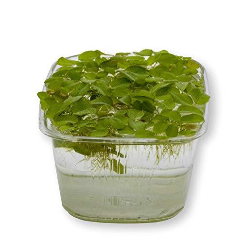 AQ4Aquaristik 1 Portion Kleiner Schwimmfarn, Büschelfarn, Salvinia natans, Schwimmpflanze für Urzeitkrebs Becken, Teich und Aquarium, schnellwüchsig mit niedlichen Blättern