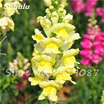 Muflier Majus Graines nain commun Multi Color Flower snap Jardinerie Accueil Bonsai Plantes en pot Plantation 120 Pcs 12