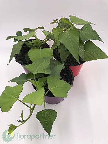 Süßkartoffel Erato orange Ipomea batatavon Florapartner Gemüse Pflanze 1stk.
