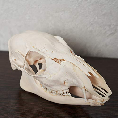 Siberian Musk Deer Taxidermy Skull - Musk-Deer Cleaned Skull, Jaws, Bones, Skeleton, Teeth for Sale - Real, Decor, LIFESIZE, Genuine - ST6697