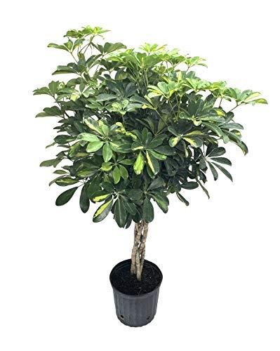 Umbrella Tree - 'Gold Capella' Live Braided Schefflera Arboricola - Florist...