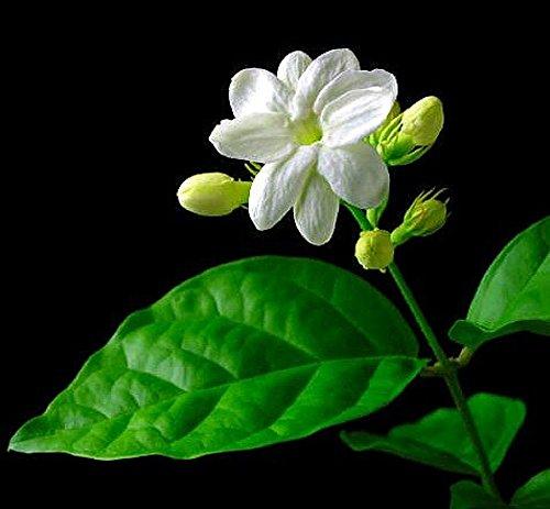 Ohio Grown Arabian Tea Jasmine Plant - Maid of Orleans - 4' Pot