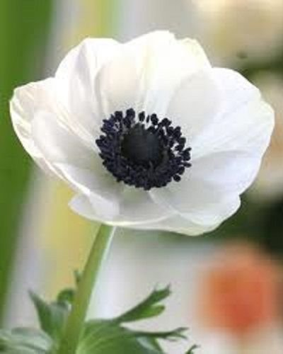20 Samen - Weiße Anemone Blumensamen/Perennial