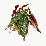 Polka-Dot Begonia - Trout Begonia - Begonia maculata wightii