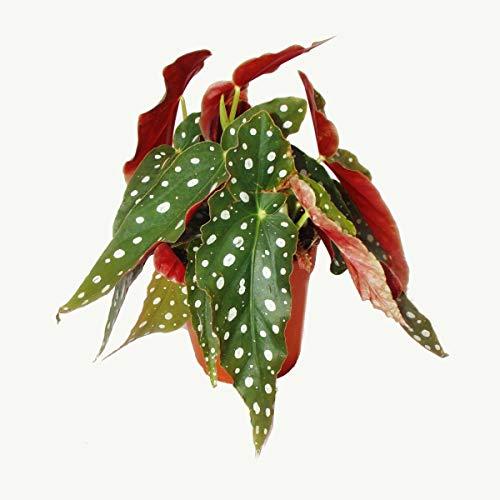 Polka-Dot Begonie - Forellenbegonie - Begonia maculata wightii