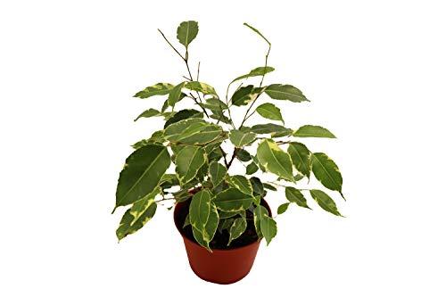Weeping Fig Tree - Ficus Benjamina Variegated - 4