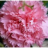 100個/袋、カーネーションの種、Dianthus Caryophyllus、鉢植えの植物、植栽の季節、開花植物