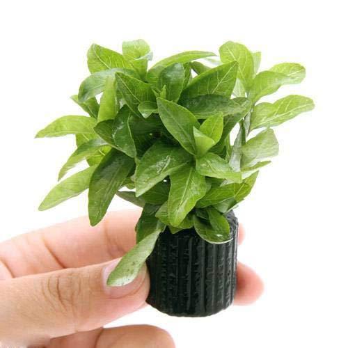 (水草)マルチリングブラック(黒) ハイグロフィラ ポリスペルマ(水上葉)(無農薬)(1個)