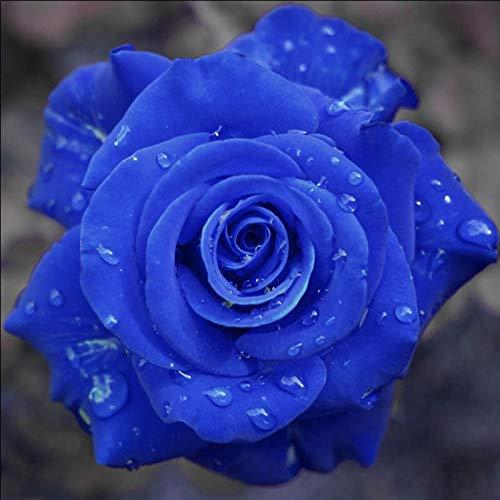 AGROBITS 9999 exotiques, Bleu Rosa Fleur Plante, 100% authentique rares Roses chinois Belle Bonsai Accueil & amp Potted; Jardin: 200pcs