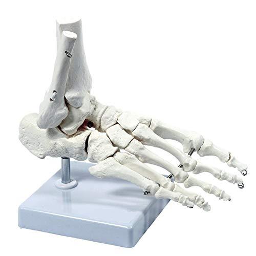 Modelo de pie anatómico médico de Esqueleto Humano, tamaño Real, Uso para Oficina de osteópata y Estudios de Estudios