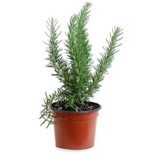 Romero alto (Maceta 13 cm Ø) - Planta viva - Planta aromatica