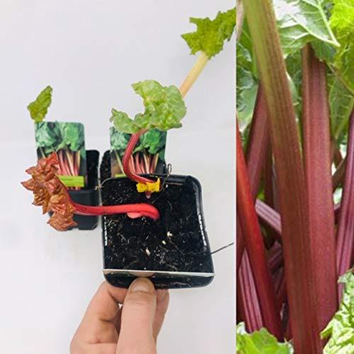 Planta de ruibarbo para el jardín en una maceta de 1 litro, lista para plantar