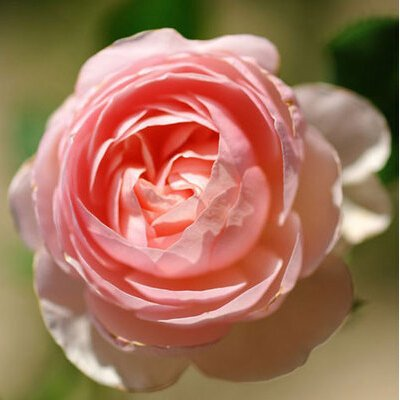 Rose Tree Europe, roseraie vert arbre mois 100 graines de fleurs